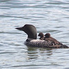 Loon Family Outing :