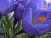 Crocus Sightings :